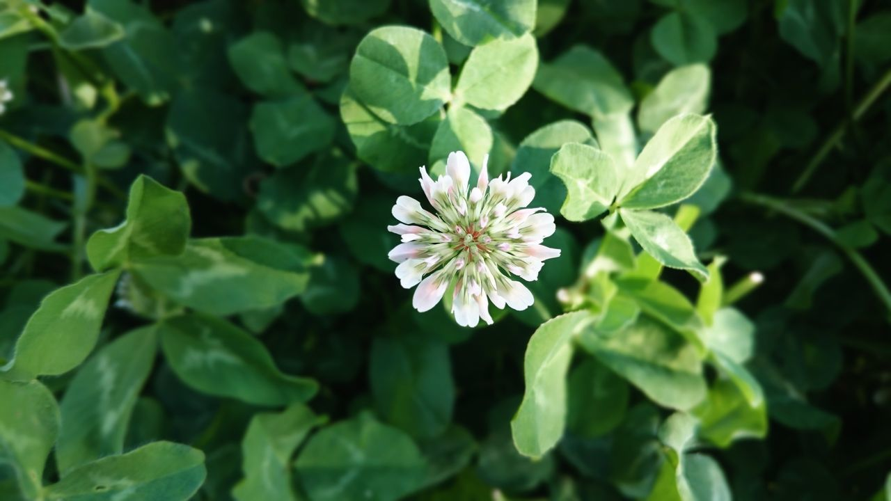 Clover Green Color Nature Trefoil Trifolium Faboideae Botany Flowers Clover Blossom White Flower Close-up Outdoors Growth Day Flower Head Open Edits Photography EyeEm Best Shots Taking Photos EyeEm Nature Lover Feeling Creative Green Leaves Green Color Springtime Spring