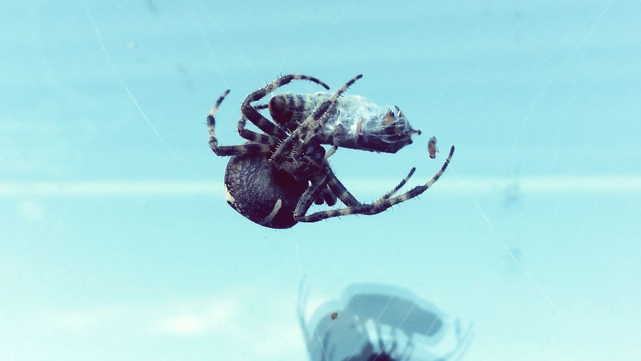 Spider Cross Spider Spider Has Food Spider Catching Insect Insect Photography EyeEm Nature Lover EyeEm Best Shots