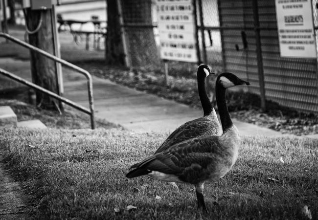 In life everything is not going to go exactly our way. Yesterday I went out to take pictures at the pavilion at Miller Park. The driver let me off on the sidewalk. To my surprise, the sidewalk ended up being inaccessible for me. I didn't complain. I waited on what God had planned for me. Here's what he sent me. The geese came to me. Let us be more thankful and wait on the Lord. Hanging Out Taking Photos Sonya5100 Black & White Geese Photography Lake View Serendipity Black&white Conversion