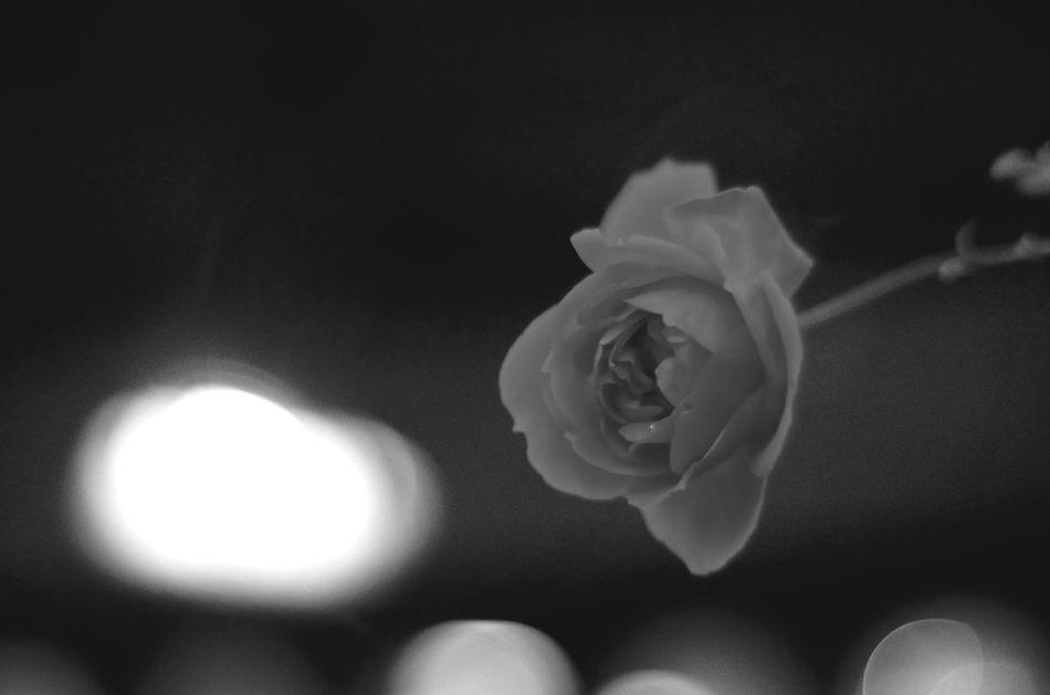 セックス Flower Flower Head Beauty In Nature BW Collection Blackandwhite Planar50/1.4 Pentax K-5 EyeEm Gallery Carl Zeiss Black And White Bw_collection Bwflower Pentax Rose - Flower