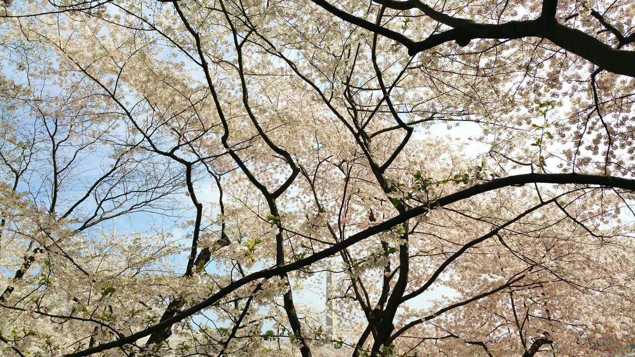 Cherry Blossoms Cherry Blossom Tree Cherry Blossom Photography OpenEdit The Traveler - 2015 EyeEm Awards