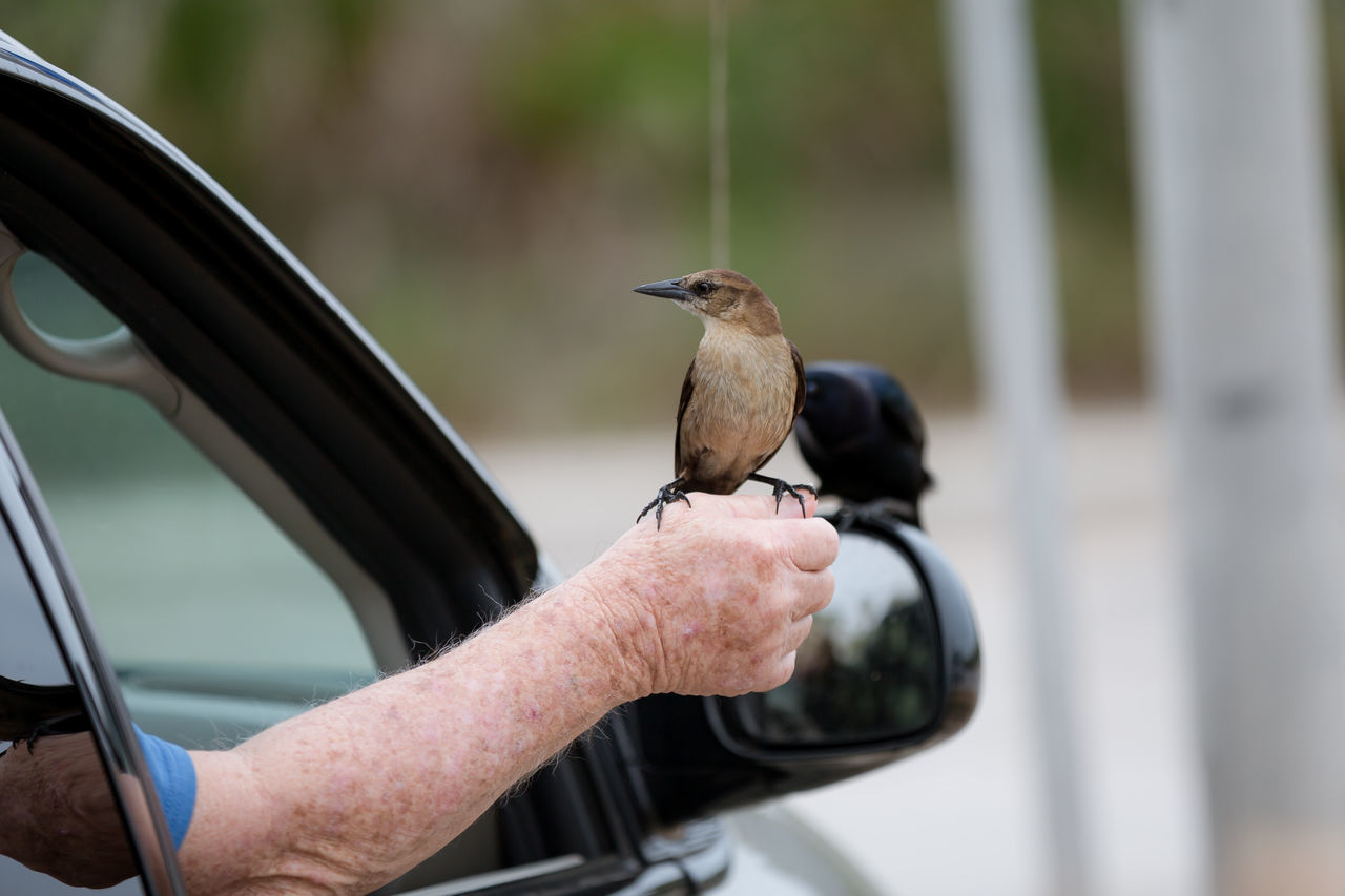 Adult Animal Themes Animal Wildlife Animals In The Wild Bird Close-up Coexistence Day Human Body Part Human Hand Nature Old Man One Animal Outdoors People Perching Trust Urban Nature Vehicle