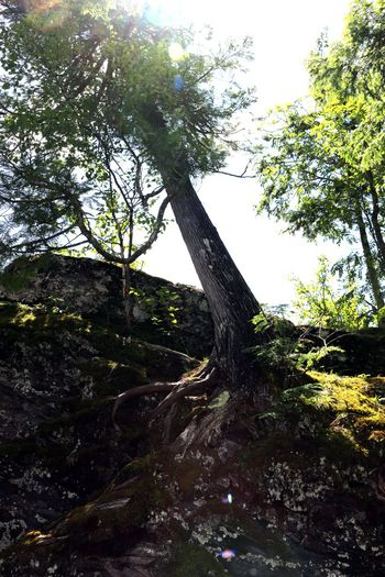 Beautiful Day Beautiful Nature Exposed Roots Growing Hanging On.... Leaning Nature Rocky Beach Sunshine Tree Tree Roots  Very Old
