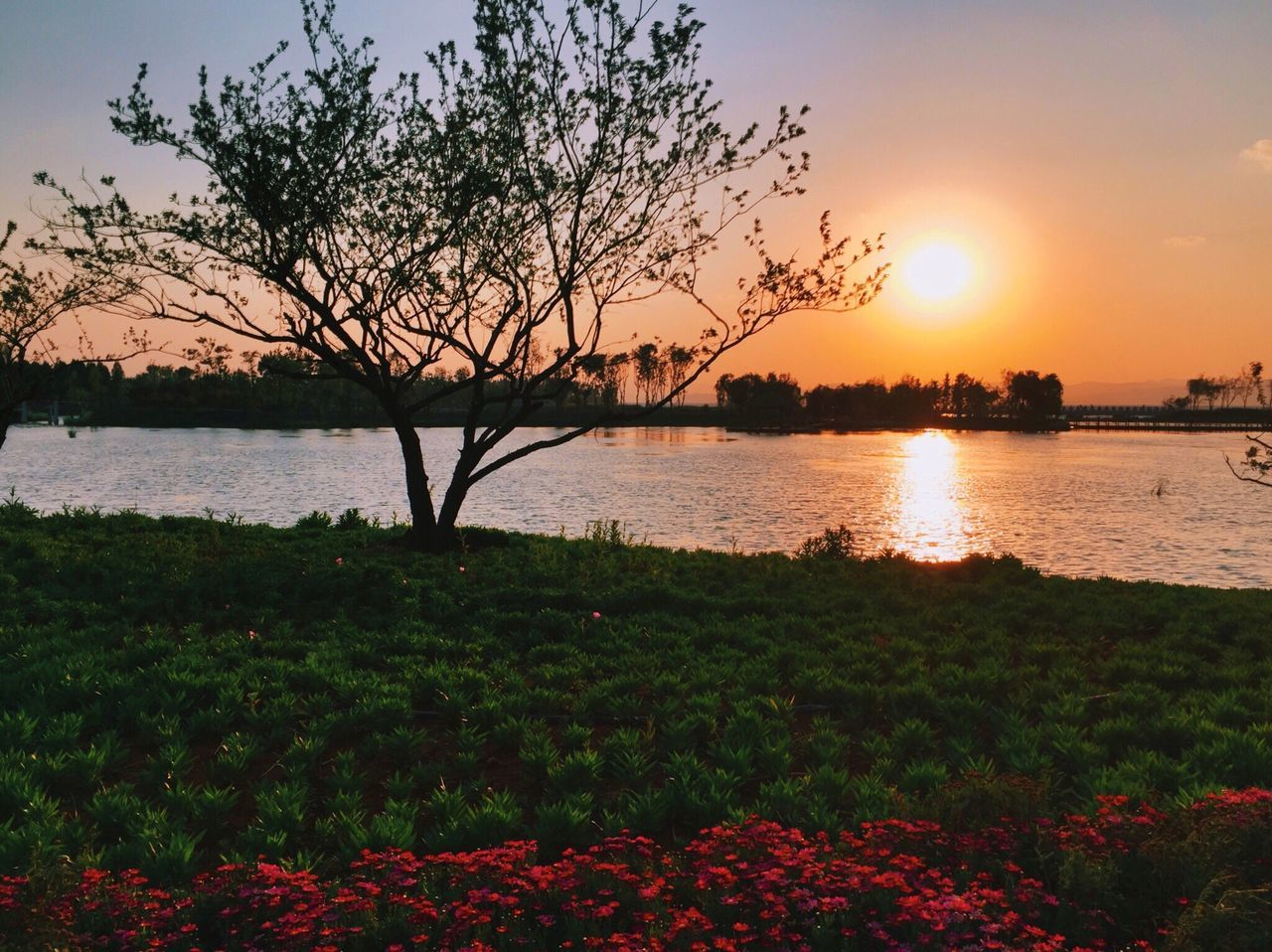 sunset, beauty in nature, nature, water, scenics, lake, tranquility, tree, tranquil scene, sun, sky, reflection, no people, outdoors, silhouette, growth, plant, landscape, flower, day