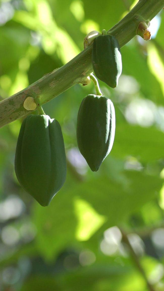 Papaya Papayas Papaya_tree Nature Green Naturaleza Naturaleza🌾🌿 Naturaleza🌵🌻🎶