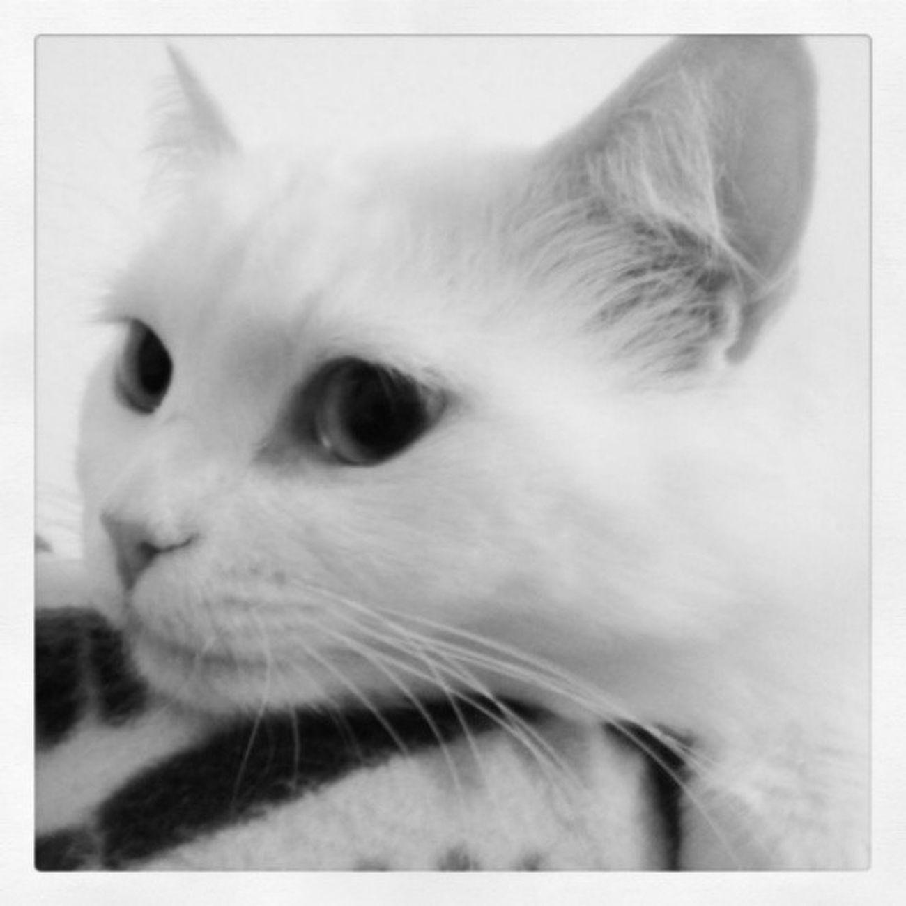 Pazartesiiiiiiii :/ Benimkedimhisseder Cat Kedi Maya evarkadaşım profil animals vankedisi vancat blackwhite instagood petstagram pati instalike instaphoto night bikedigördümsanki pazartesisendromu