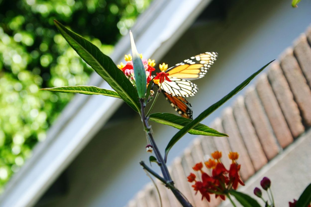 Backyard Photography Nature Butterfly Plants Milkweed No People Buglife Sitting On Leaf Monarch Butterfly Outdoors Beauty In Nature Backyard Jungle