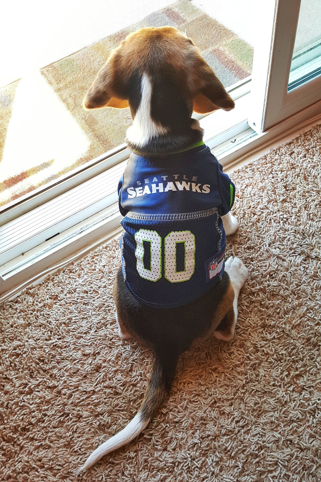 Waiting for the game to start. Seattle Seahawks Seahawkspride Seahawks 12th Man Seahawksbaby One Animal Pets Domestic Animals Sitting Photooftheday First Eyeem Photo PhonePhotography Beagle Beaglelovers Beagleoftheday Beagles  Beaglemania Dogs Of EyeEm Dogoftheday Doglover Beaglestagram Beaglepuppy Beaglelove Beagles  Dog Love