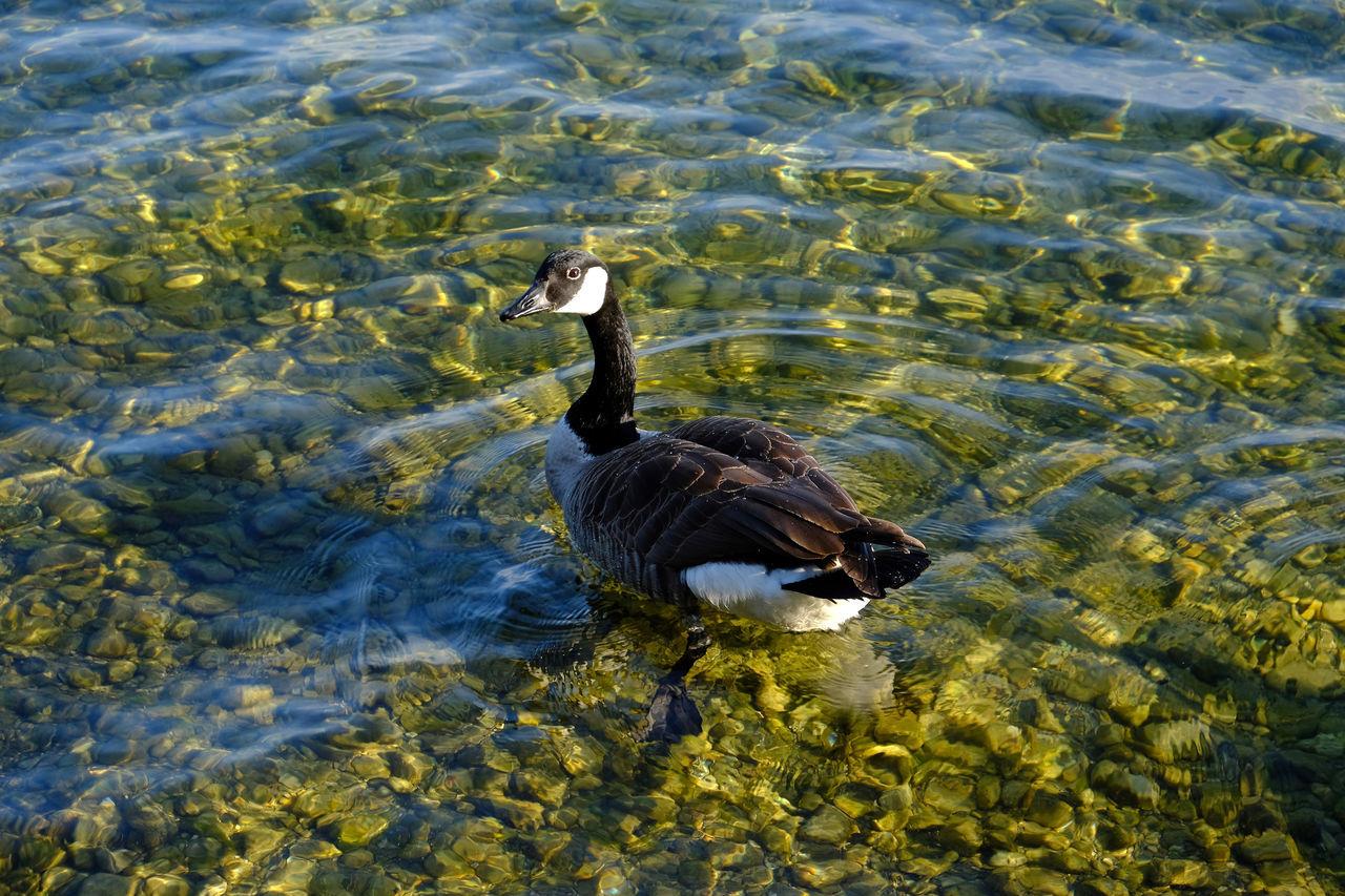 Animal Themes Animal Wildlife Animals In The Wild Bird Goose High Angle View Lake One Animal Swimming Water Water Bird