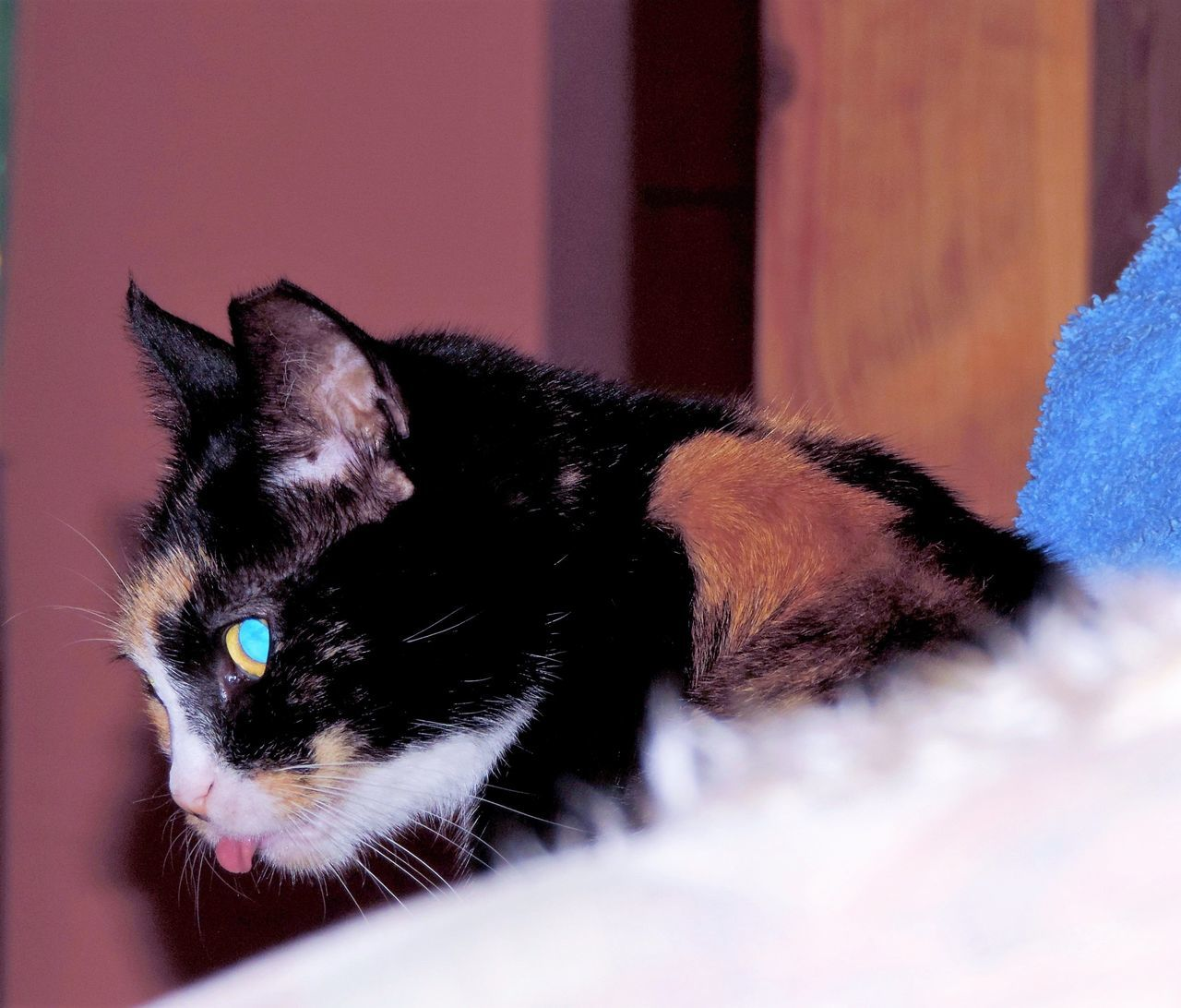 domestic cat, pets, domestic animals, one animal, animal themes, feline, mammal, whisker, no people, indoors, close-up, portrait, day