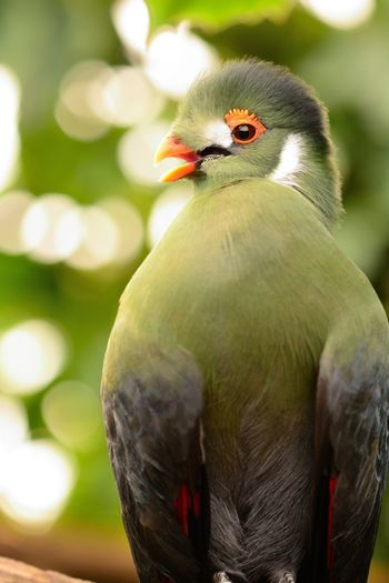 Animals In The Wild Check This Out EyeEm Best Shots EyeEm Nature Lover Green Nature Taking Photos Turaco Animal Themes Animal Wildlife Animals In The Wild Beauty In Nature Bird Birds Bokeh Close-up Day Focus On Foreground Nature_collection No People One Animal Outdoors Perching Portrait Selective Focus