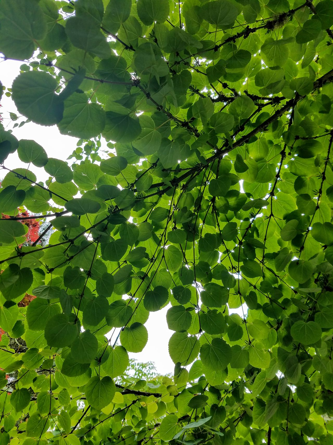 Heart shaped leaves💚 Green Color Nature Growth Day Leaf Low Angle View Beauty In Nature Outdoors Tree No People Sunlight Forest Freshness Branch Close-up Sky EyeEm Nature LoverNature Backgrounds Beauty In Nature Hearts Hearts In Nature Tree And Sky Tree The Great Outdoors - 2017 EyeEm Awards
