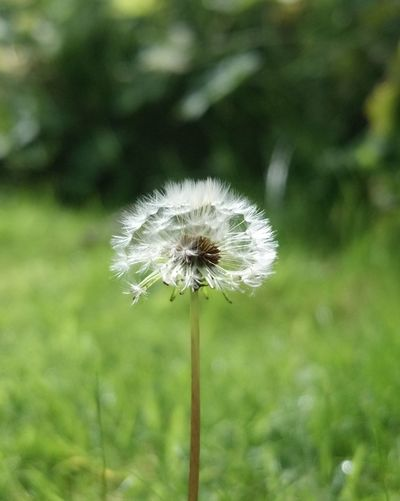 A lonely dandelion blowing in the wind Dandelion Dandelions Dandelion Seeds Dandelion Collection Garden Summer