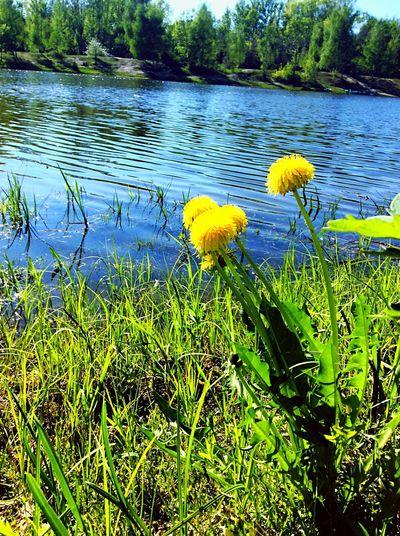 Река Волга одуванчики Ярославль Beautiful Nature