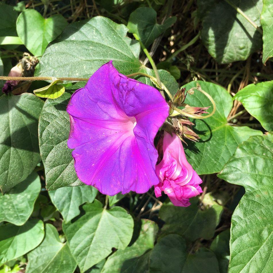 Purple Beauty In Nature Ipomea