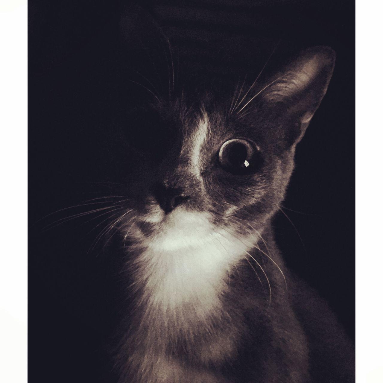 domestic cat, pets, one animal, mammal, animal themes, studio shot, domestic animals, no people, feline, close-up, indoors, black background, day