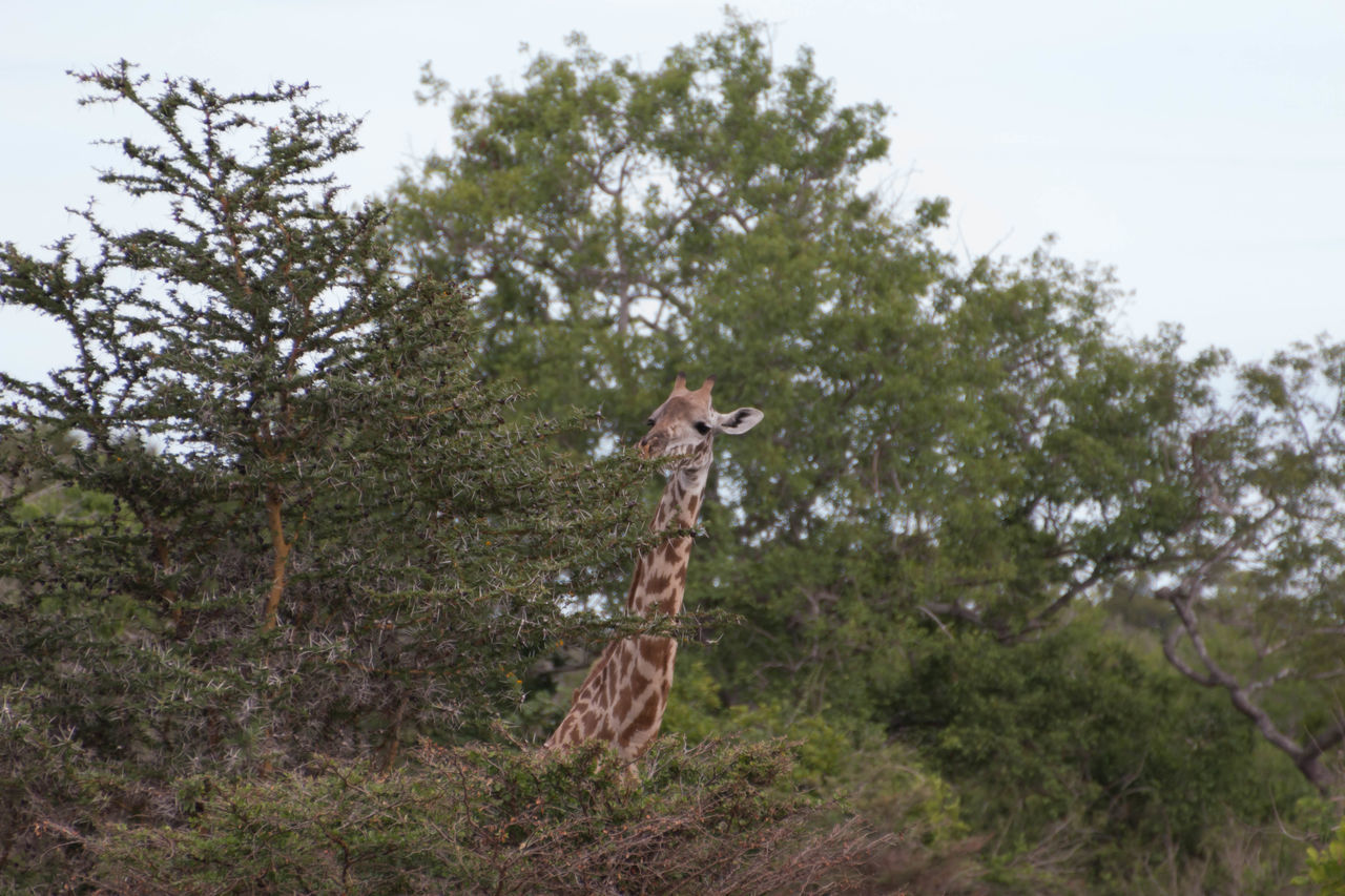 animal themes, tree, animals in the wild, day, mammal, nature, giraffe, no people, outdoors, animal wildlife, growth, one animal, standing, grass, sky