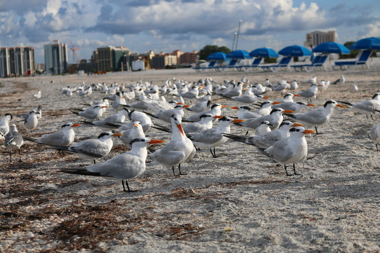 Animal Themes Animal Wildlife Animals In The Wild Beach Bird Birds On The Beach Day Flock Of Birds Flying Large Group Of Animals Nature No People Outdoors Posing For The Camera Seagull Sky Spread Wings