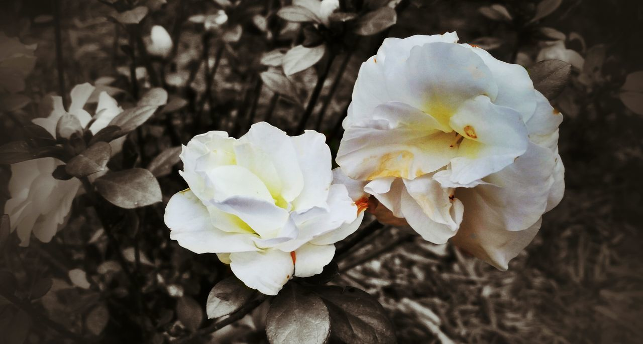 Flowers,Plants & Garden Contrast Gardenia