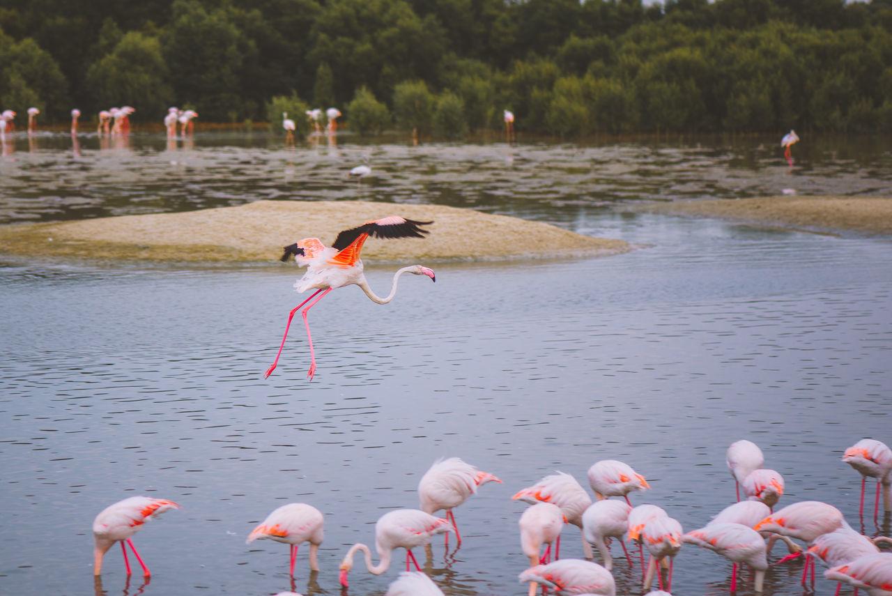 Animal Themes Animal Wildlife Animals In The Wild Bird Day Dubai Flamingo Flamingo Large Group Of Animals Mammal Nature No People Outdoors Swimming Travel Destinations UAE United Arab Emirates Water