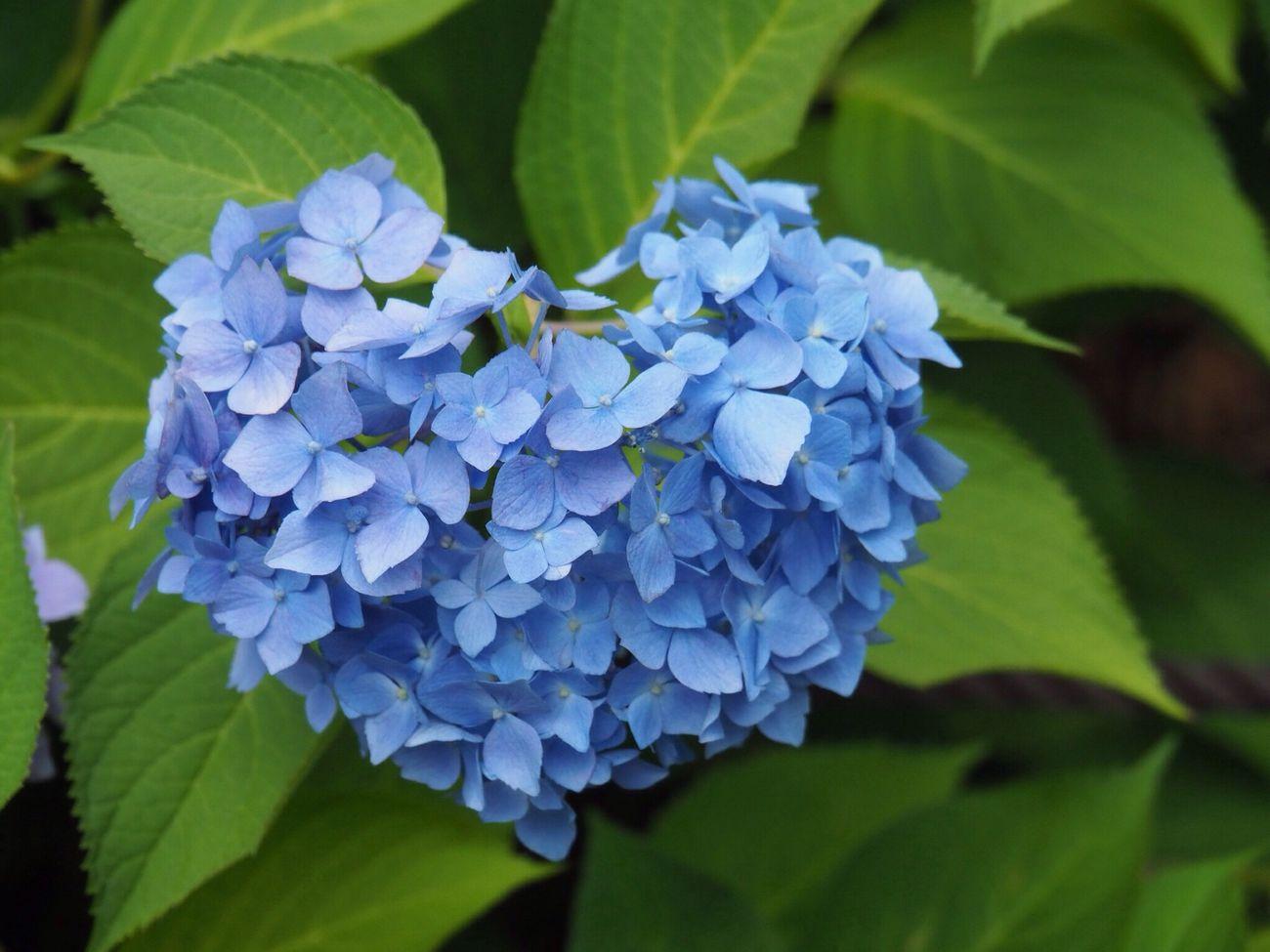 Kyoto Japan Uji Mimurotoji Temple Hydrangea Blue Purple Flower Beauty In Nature Nature Close-up Heart Olympus PEN-F 京都 日本 宇治 三室戸寺 紫陽花 はーと