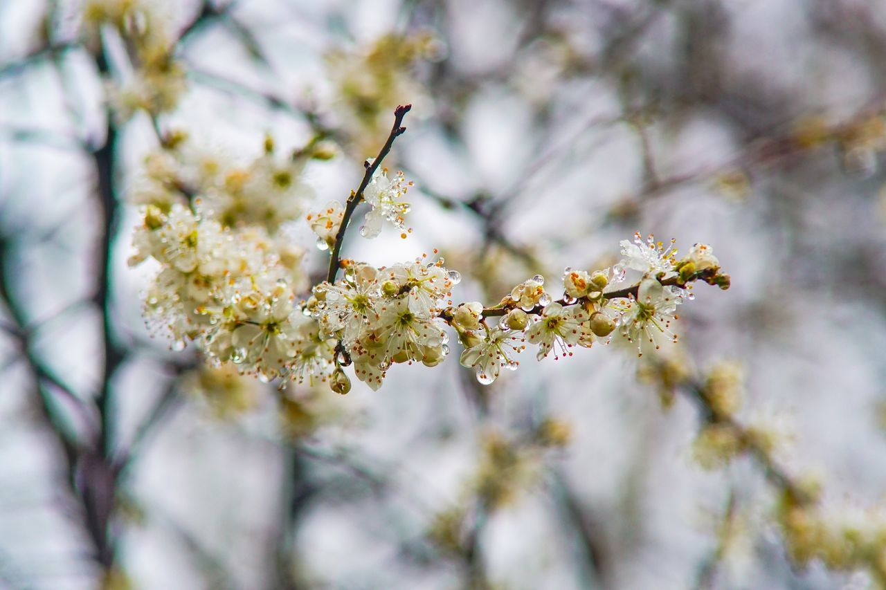 Perspectives On Nature Flower Fragility Growth Tree Beauty In Nature Branch Nature Blossom Close-up Botany No People White Color Freshness Apple Blossom Day Outdoors Springtime Low Angle View Flower Head Blooming