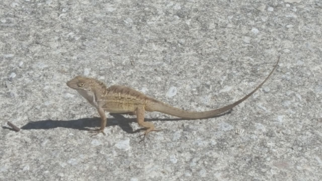 Animal Themes Animal Wildlife Anole Lizard Close-up Concrete Jungle Meets Nature Day High Angle View One Animal Outdoors Reptile No Filter No Edit