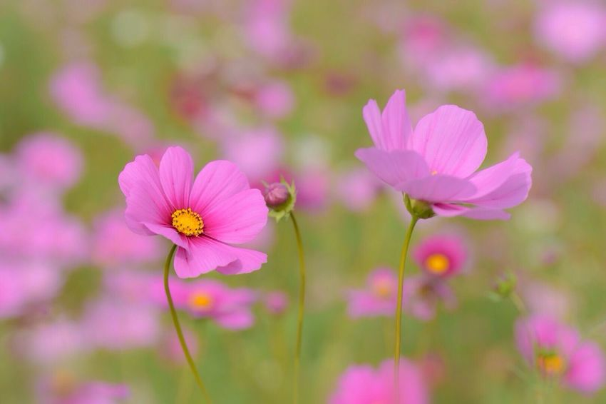 Macro Drop Flower Nature Beauty In Nature Pink Color Close-up