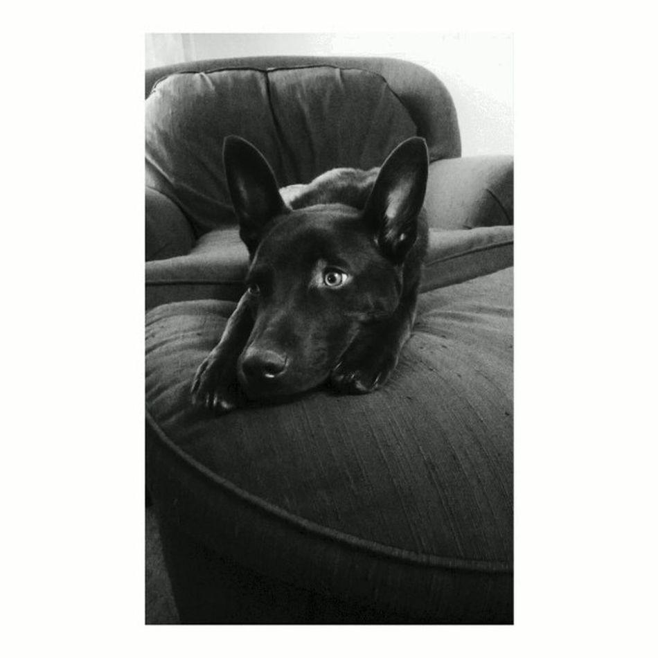 My Photography Skills  Zico Zeekö puppy chocolatelab Labrador
