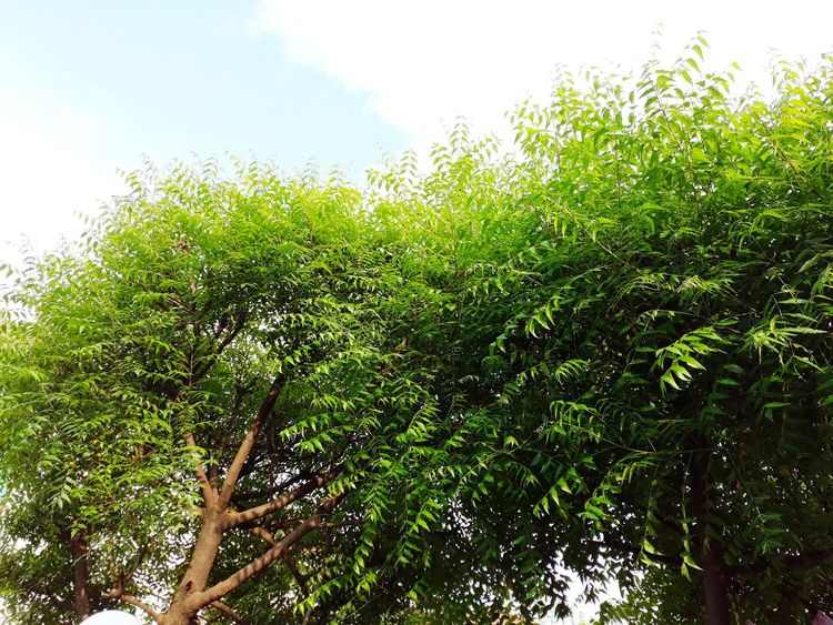 Neem Tree Neem Neem Tree Neem Leaves Neem Leaf Neem Leaf Photo Against Light Neem Tree In Daylight Branches Branch Tree And Sky Tree Trunk Neem Tree And Sky Cloud - Sky Cloud Under The Sky Medicine Medical Plant Fresh Air... Freshness Low Angle View Growth Nature Green Color Sky Outdoors Tree Day No People Beauty In Nature Close-up