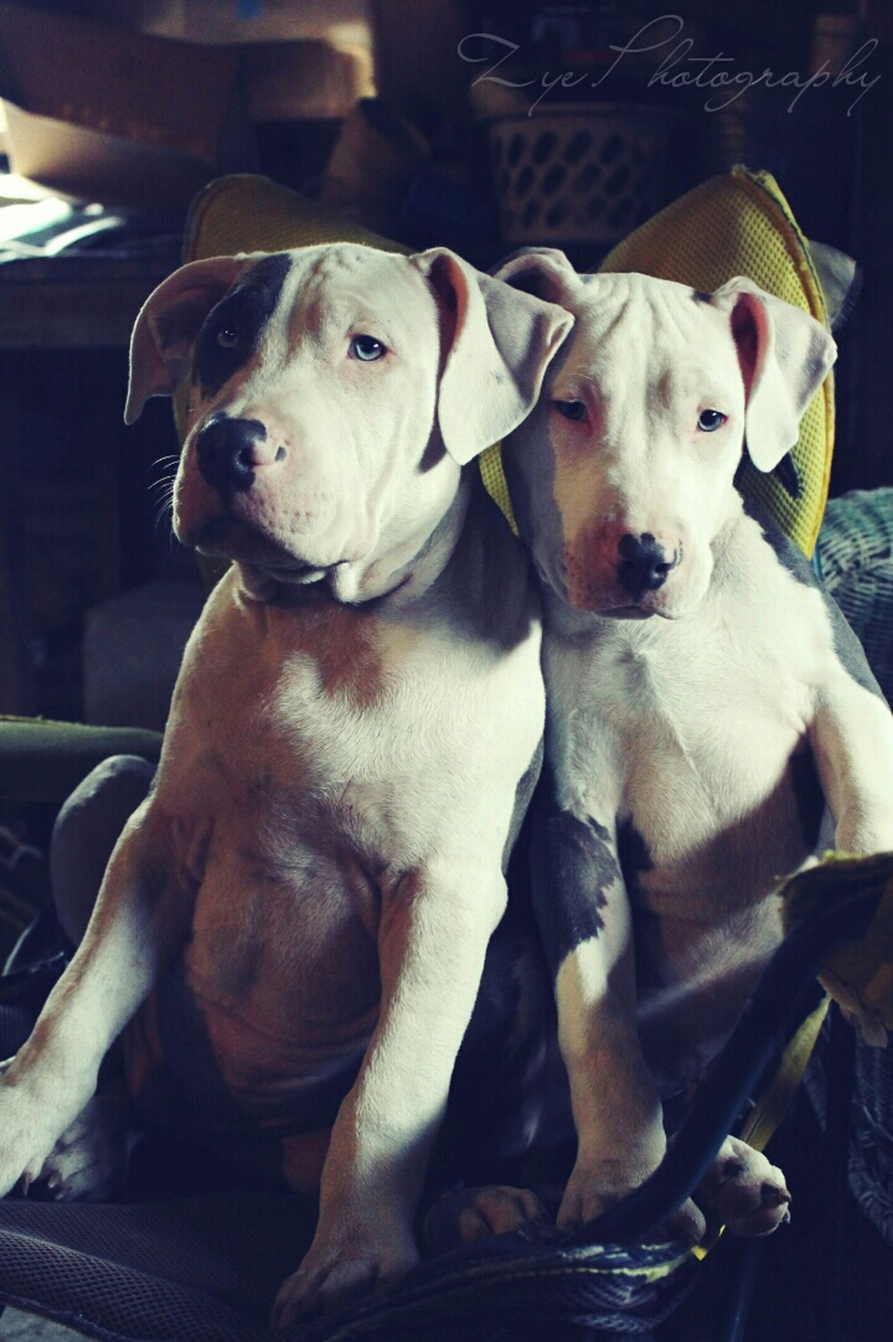 Brother Hood ZyePhotography Pitbullsofinstagram Pitbulls Pitbull♥ Brothers Pitbullpuppies Harlingen Tx Ilovemydogs Canonrebelt3 Taking Photos