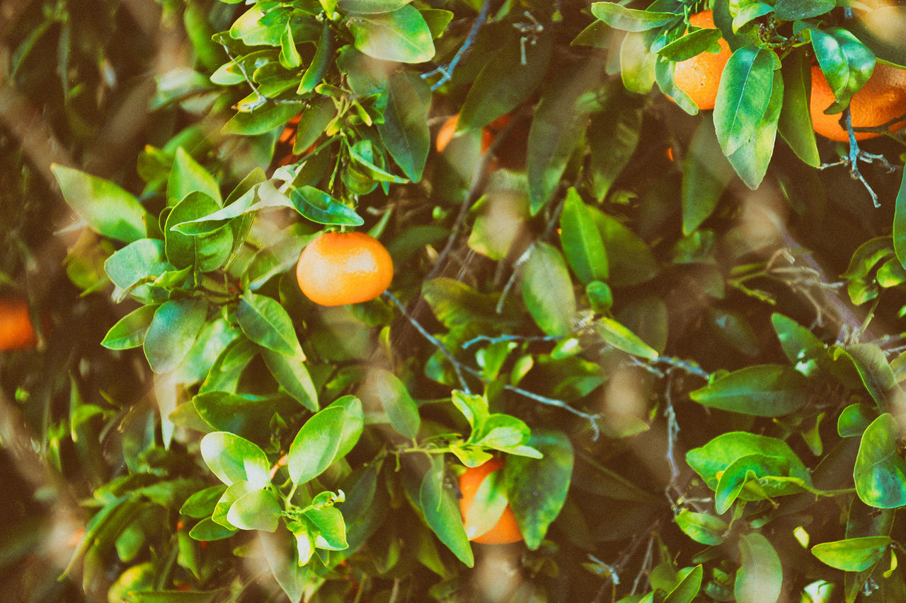 fruit, leaf, growth, citrus fruit, food and drink, freshness, food, healthy eating, no people, green color, outdoors, orange tree, day, nature, tree, beauty in nature, plant, close-up