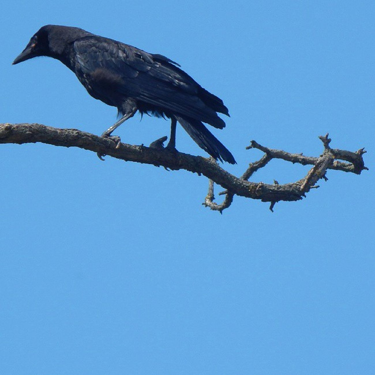 Люблю этих гордых и умных птиц) ворон прогулка Природа Николаев Nature Nikolaev Nikolaevgram