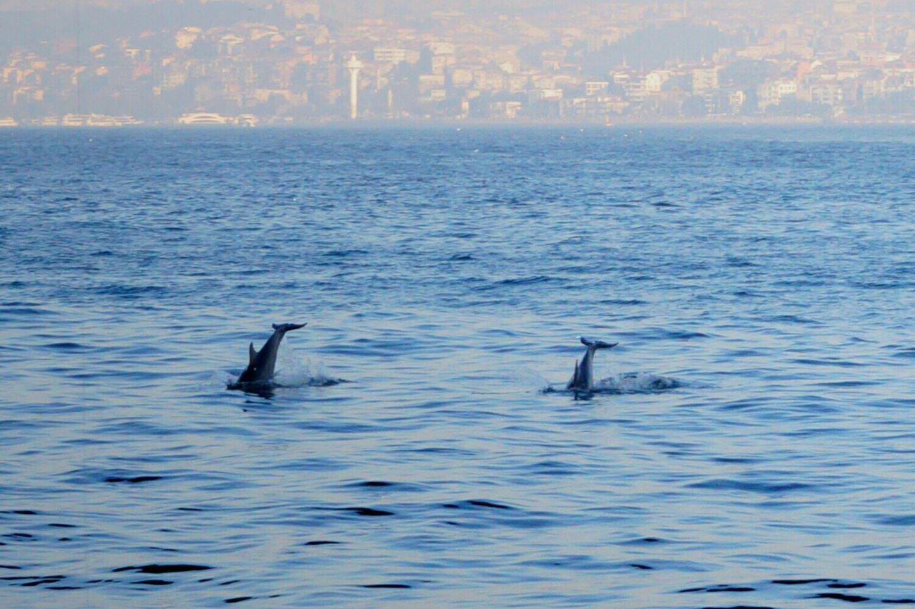 GalataBridge Dolphin Watching  Eminönü/ İstanbul Eminonucamii Istanbul - Bosphorus Bosphorus Bridge Bosphorus Bridge Dolphins. Galatakulesi