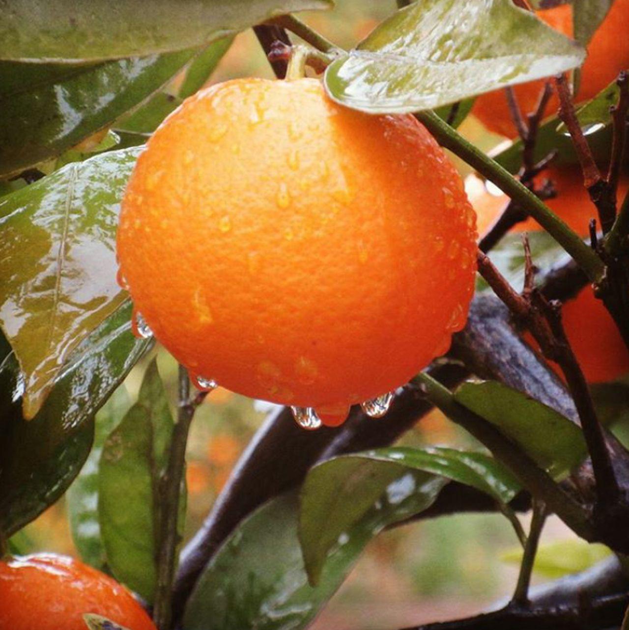 Pluja Taronja Citrus Fruit Orange - Fruit Fruit Orange Color No People Beauty In Nature Naranja Lluvia Lluvia Gotas Lluvia. 📷 València Valencia, Spain Valencianature Passeigsotalapluja