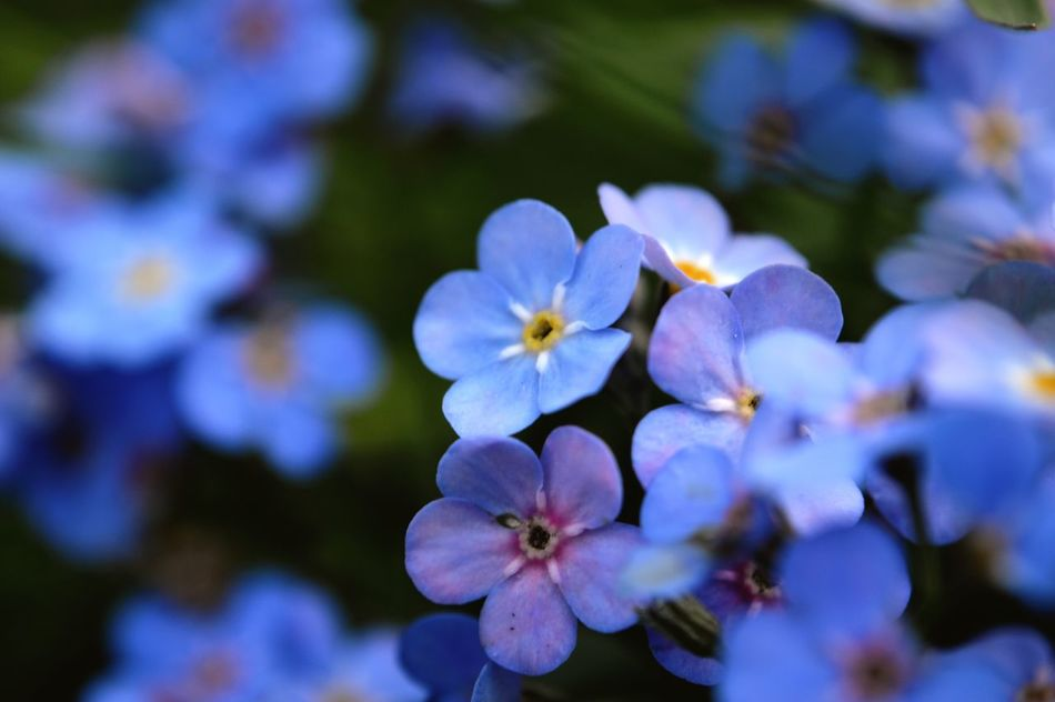 Flower Petal Fragility Growth Beauty In Nature Flower Head Nature Day Blooming Focus On Foreground No People Forget Me Not Close-up Blue Outdoors Periwinkle