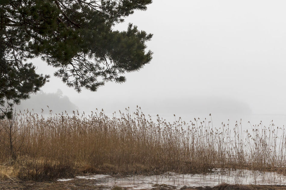 Beauty In Nature Day Exceptional Photographs EyeEm Masterclass Foggy Grass Growth Hello World Lake Lake View Lakeshore Landscape Misty Nature No People Outdoors Pine Reed Scenics Sky Tranquil Scene Tranquility Tree Water Silence