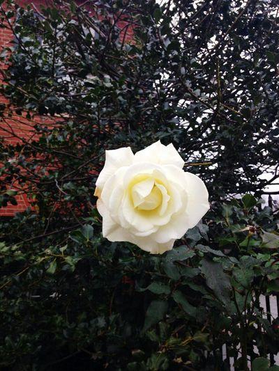 Rosa Blanca First Eyeem Photo
