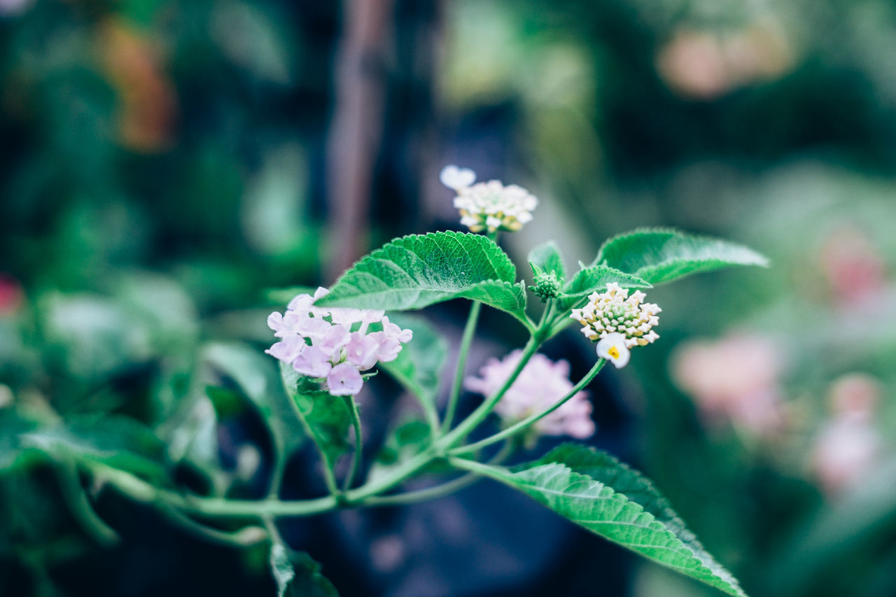Beauty In Nature Blooming Botanical Garden Close-up Copy Space Creamy Bokeh Flower Flower Head Fragility Freshness Gardening Green Color Growth Lantana Camara Leaf Nature Outdoors Plant Selective Focus Side View Foliage Backgrounds Green Contrast Violet
