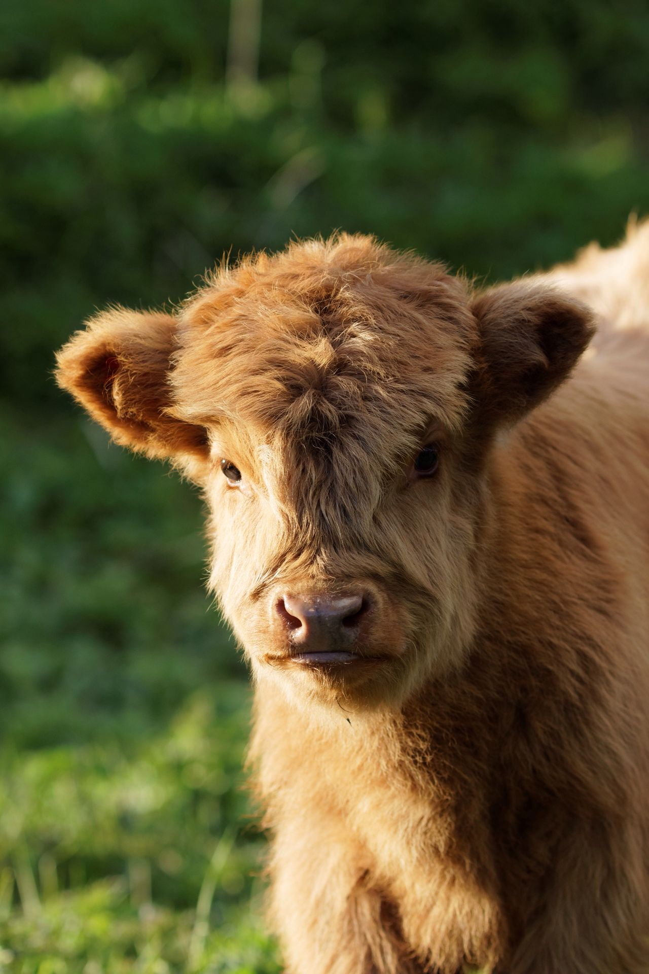 Highland Cattle Newly Born Domestic Animals Animal Themes Mammal Livestock One Animal No People Field Focus On Foreground Day Young Animal Portrait Outdoors Nature Close-up Grass Highland Cattle