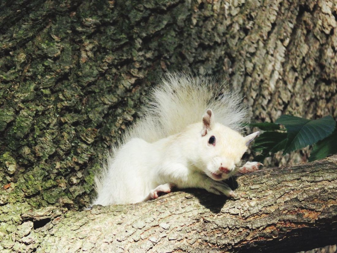 Adorably Rare White Squirrel in Boston Public Gardens resting comfortably on a tree. (He has leucism, not albinism). Leucism White Squirrel Squirrel Tree Boston Public Garden  Boston Massachusetts Unique Beauty The Great Outdoors - 2016 EyeEm Awards The Photojournalist - 2016 EyeEm Awards Cute Animals EyeEm Nature Lover EyeEm Best Shots - Nature EyeEm Animal Lover Nature_collection Nature Photography Beauty In Nature Adorable EyeEm Best Shots Resting Crouching Beautiful Nature