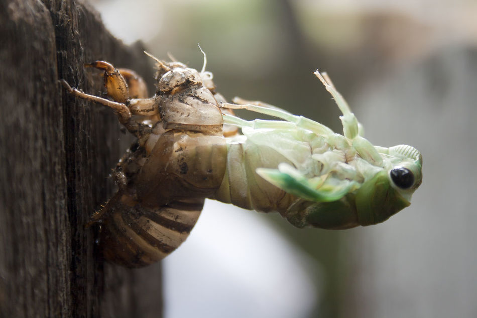 Cicada nymph molting Animal Themes Bug Cicada Close-up Creepy Crawly Day Green Gross Insect Insects  Molting Nature New No People Nymph One Animal Shell Southern Summer