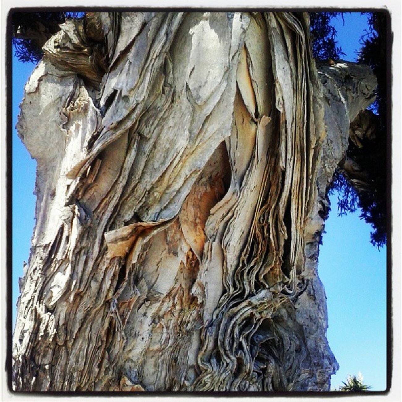 "So I was walking and stopped to look at this gorgeous tree trunk, when this middle-aged dude on a bicycle paused to chat. He asked if I was enjoying the ""paper"" tree, and I said yes, I was. He supposed that one could only see such a lovely tree in a place Santa Barbara. ""Then again,"" he continued, ""this place has the evilest women on the face of the earth."" I told him I would be on guard in that case."