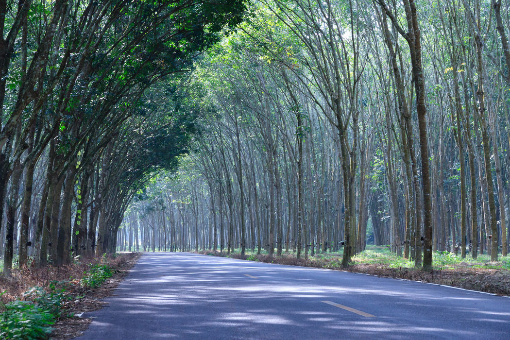 Beauty In Nature Day Forest Green Color Nature No People Outdoors Plant Road Scenics Sky The Way Forward Tree Rubber Trees