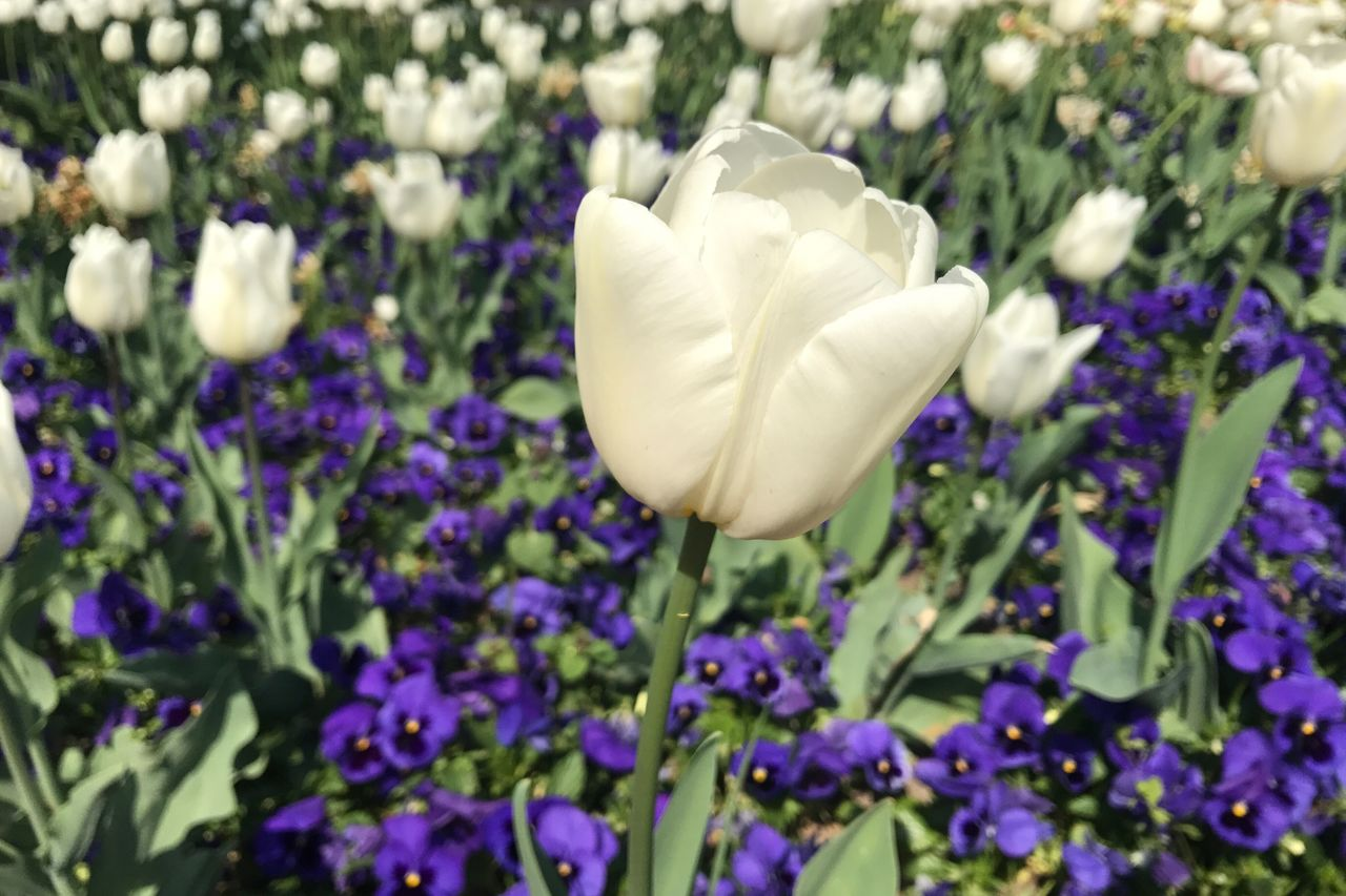 Art Is Everywhere One in a thousand Flower Fragility Tulips Petal Nature Beauty In Nature Growth Freshness Flower Head Outdoors Close-up Focus On Foreground Large Group Of Objects Springtime Flowers,Plants & Garden