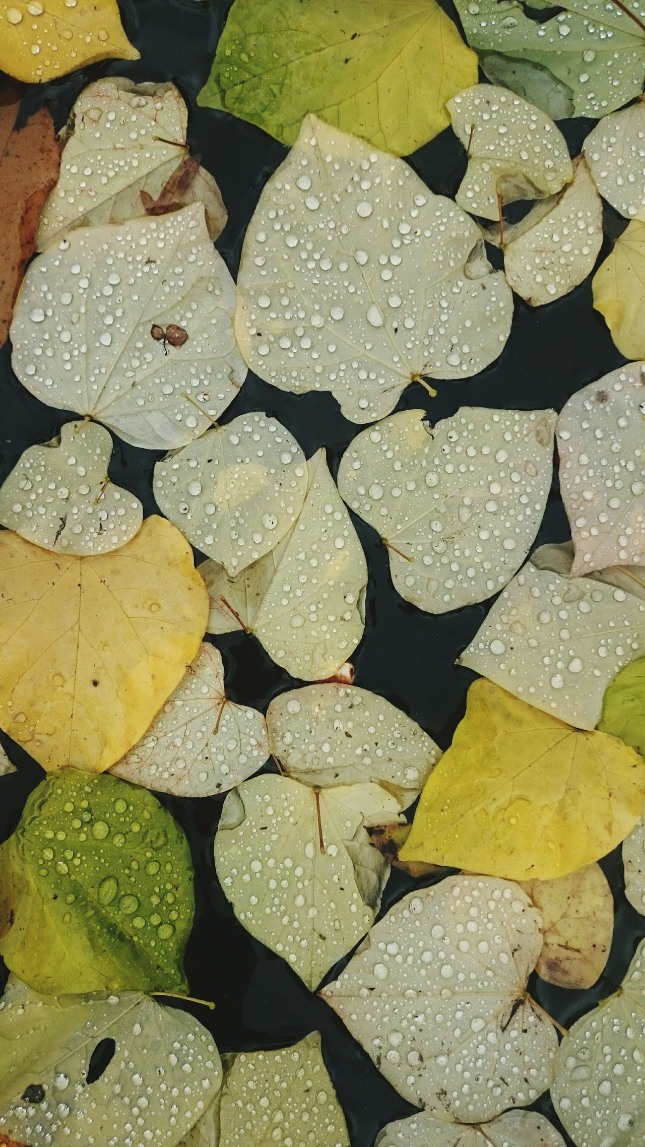 Fresh, cold and wet. Fresh Freshness Autumn Autumn Colors Autumn Leaves Leaf Leaves Close-up Nature Backgrounds Full Frame No People Outdoors Weather Rainy Raindrops Wet Droplets EyeEm Best Shots Beauty In Nature Water Herbst Background Colors Beautifully Organized