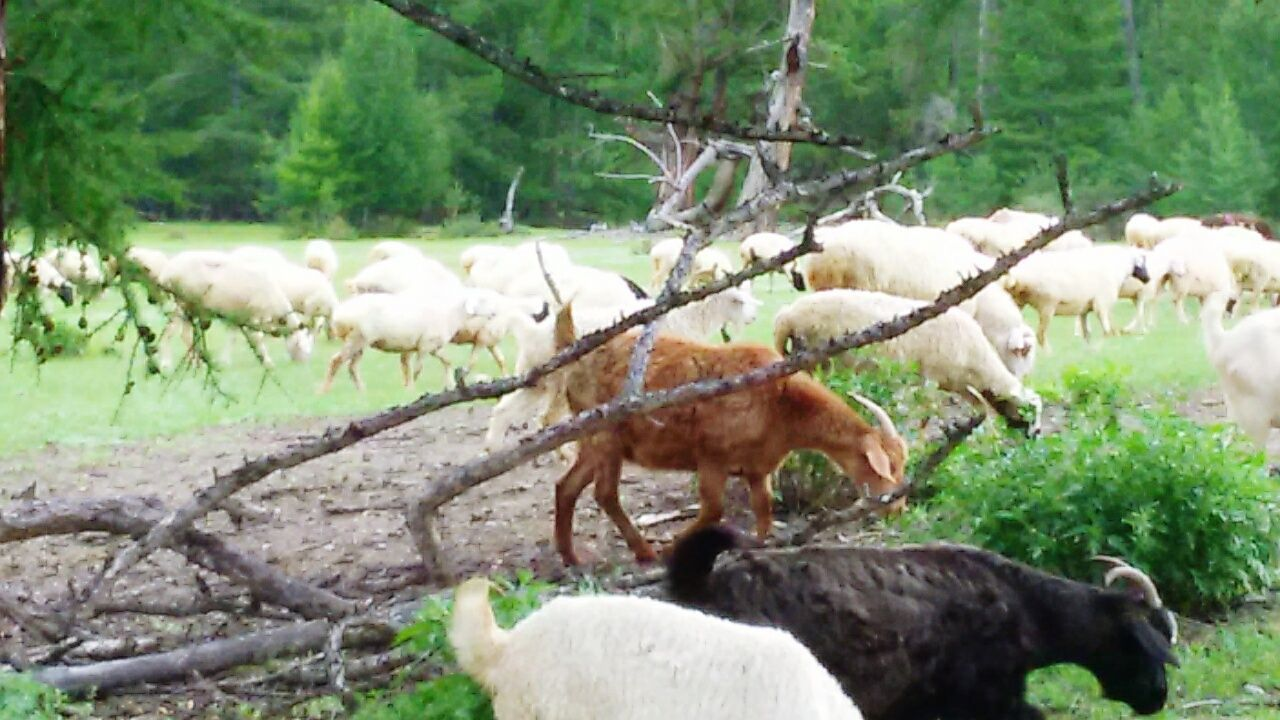 animal themes, livestock, mammal, domestic animals, nature, field, tree, no people, grazing, green color, day, outdoors, grass, large group of animals, animals in the wild, eating, beauty in nature