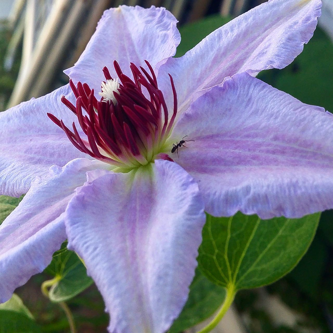 Clematis Flower Vine Purple Flower Beauty In Nature Nature Garden Flowers Focus On Foreground Outdoors Garden Greenthumb No People Hymenoptera Formicidae Insect Ant Close-up Perrenials Lg Flex Lifes Good EyeEm Gallery EyeEm Flower