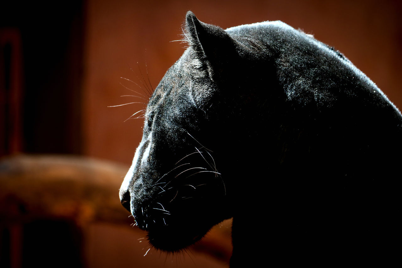 one animal, domestic animals, animal themes, mammal, pets, close-up, animal head, no people, indoors, focus on foreground, day