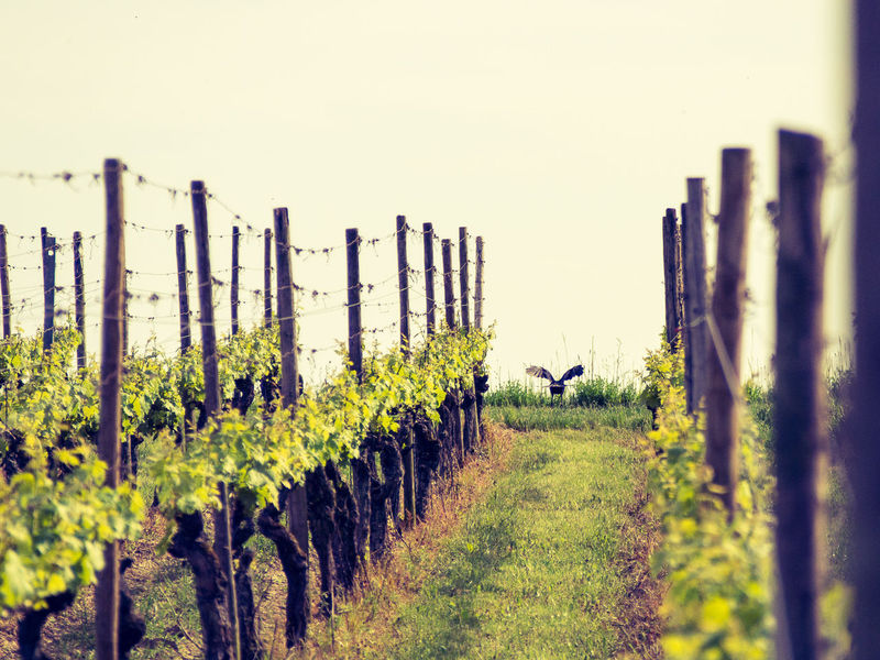 Agriculture Backside Portrait Beauty In Nature Bird Clear Sky Day Field Grass Growth Kaiserstuhl Landscape Nature No People Outdoors Plant Rural Scene Scenics Sky Tranquility Tree Vineyard Winemaking